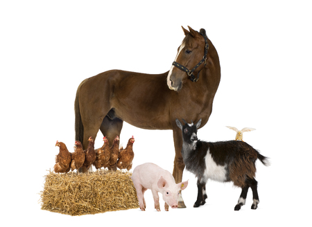 Group of farm animals isolated on white 写真素材