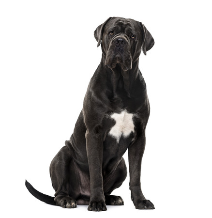 Cane Corso looking at the camera and sitting, isolated on white
