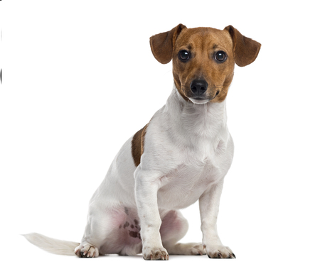 Jack Russell Terrier puppy looking at the camera and sitting, isolated on white