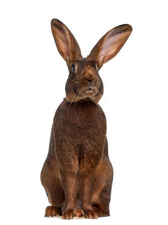 Front view of Belgian Hare isolated on white