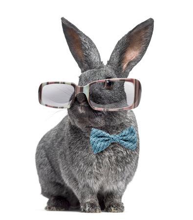 Grappig Argente konijn dragen van een bril en vlinderdas op wit wordt geïsoleerd Stockfoto - 64970645