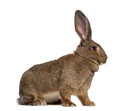 Vue de côté d'un lapin géant flamand isolé sur blanc Banque d'images