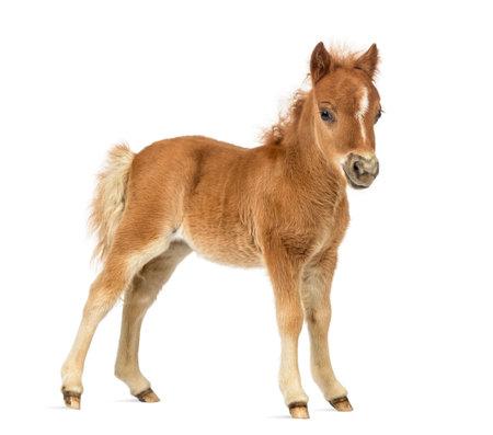 Vue de côté jeune poney, poulain sur fond blanc Banque d'images