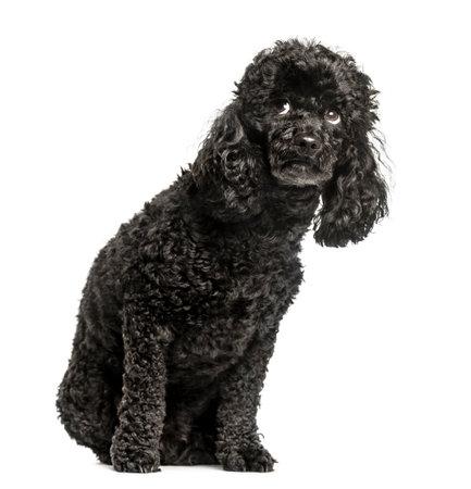 プードル、3.5 歳、座っていると見上げると怖がって、白で隔離 写真素材