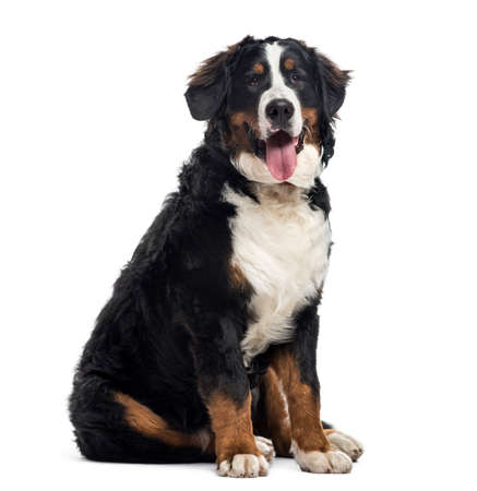 Bernese Mountain Dog, 7 months old, sitting and looking at camera, isolated on white