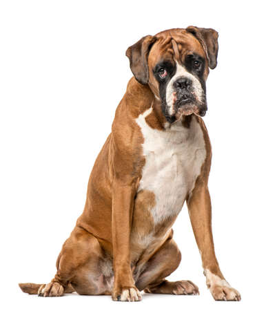 Boxer, 4 years old, sitting on white background Imagens