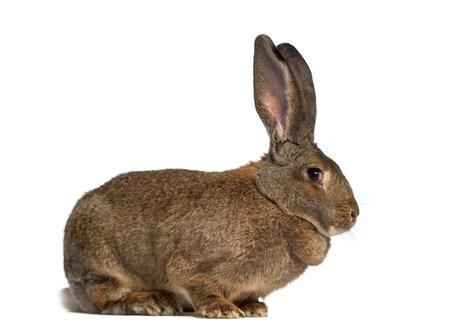 Vue de côté d'un lapin géant flamand isolé sur blanc