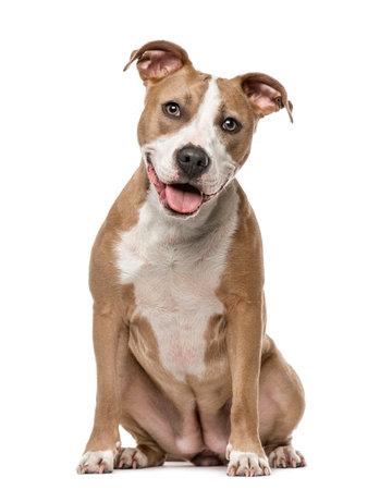 American Staffordshire Terrier sentado, 15 meses de edad, aislado en blanco Foto de archivo - 64970899