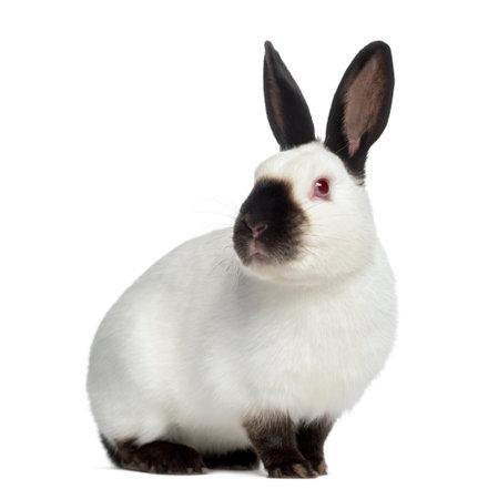 conejo ruso aislado en blanco