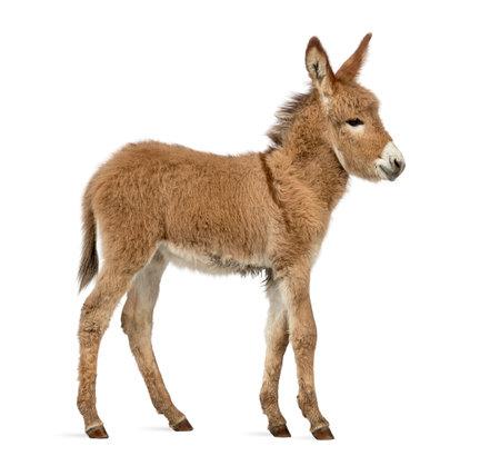 プロヴァンスろばは、白で隔離の子馬の側面図 写真素材