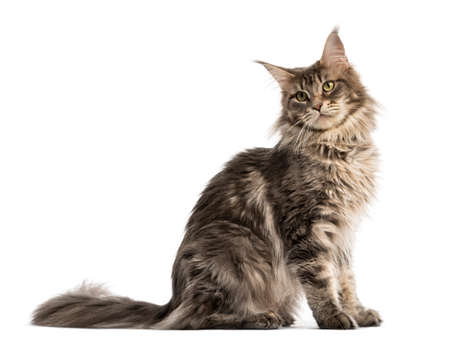 Side view of a Maine coon sitting isolated on white 스톡 콘텐츠