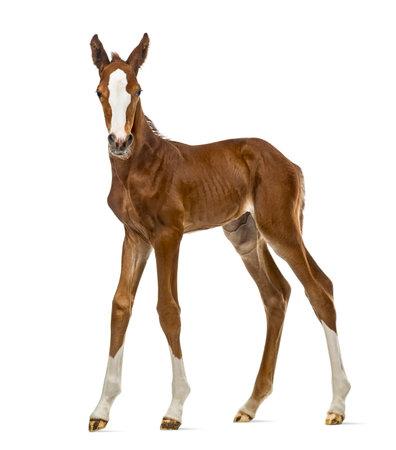 Foal parement isolé sur blanc Banque d'images