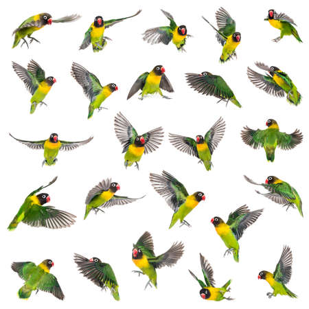 Collection of Yellow-collared lovebirds flying, isolated on white Stockfoto