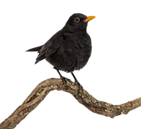 Turdus merula on a wood branch , isolated on white Stock Photo