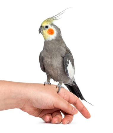Cockatiel perched on a hand, isolated on white Reklamní fotografie
