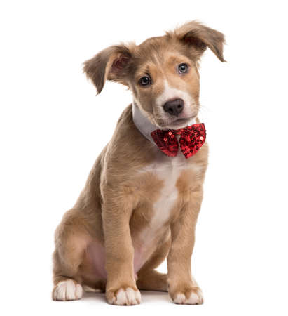 Mixed breed dog with a bow tie, isolated on white