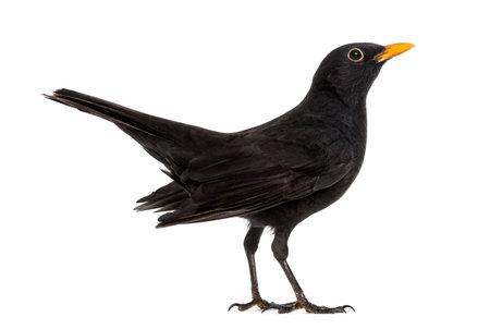 Blackbird Turdus merula, isolé sur blanc