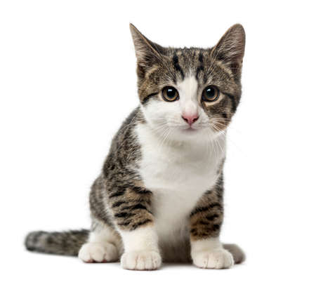 kitten domestic cat sitting, 3 months old , isolated on white Stock Photo