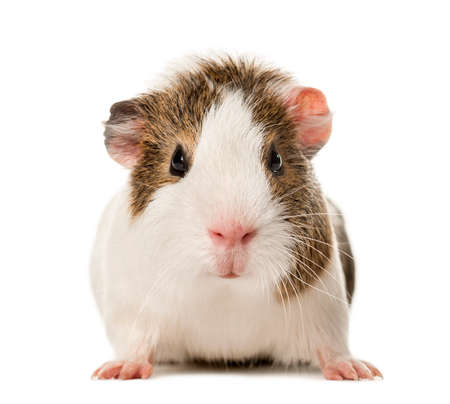 Guinea pig standing , isolated on white