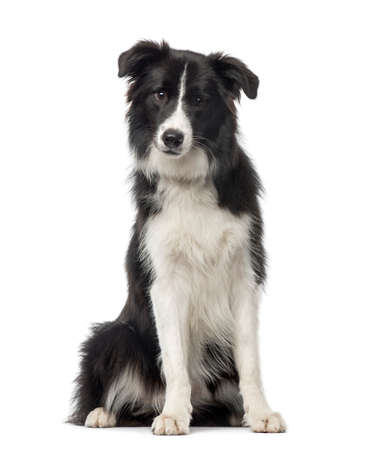 Black and white Border Collie sitting, 8 months old, isolated on white