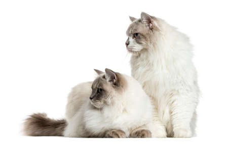 Two ragdolls sitting and lying, isolated on white