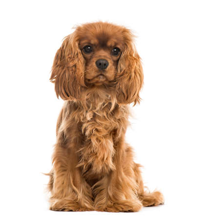 Cavalier King Charles Spaniel sitting, isolated on white