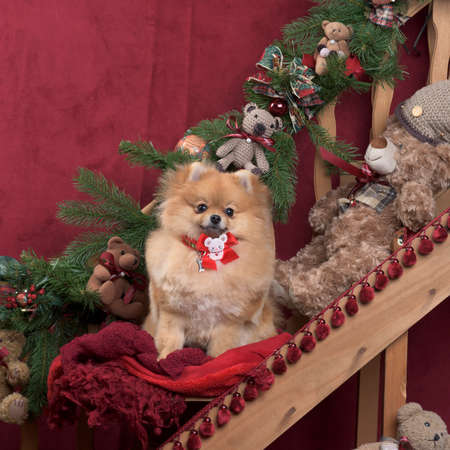 German spitz in Christmas decoration Stock Photo