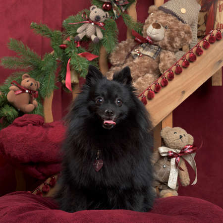 Black german spitz in Christmas decoration Stock Photo