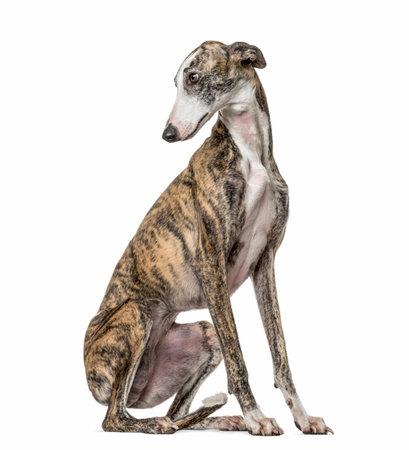 Slim galgo looking backwards, isolated on white Stock Photo