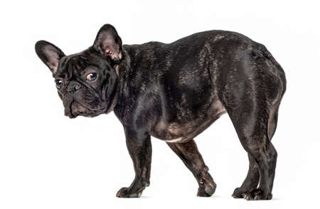 French bulldog walking and looking at the camera, isolated on white