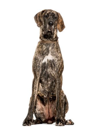 Dogue Allemand assis, isolé sur blanc Banque d'images - 77349234