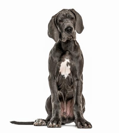 Dogue Allemand assis, isolé sur blanc Banque d'images - 77349589