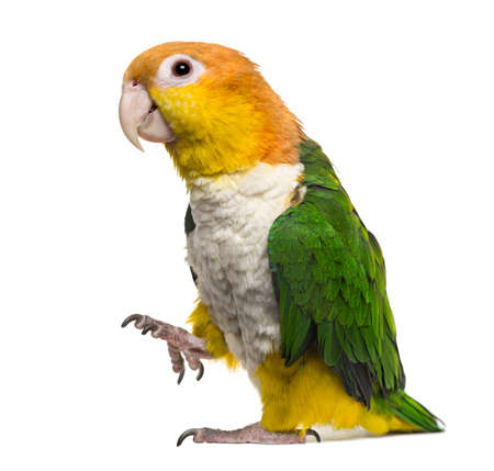 Caique with leg raised, isolated on white