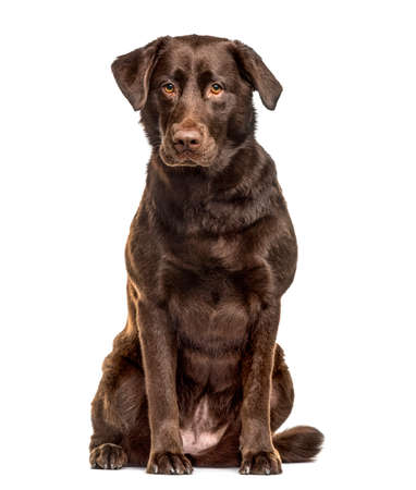 Labrador Retriever sitting, isolated on white