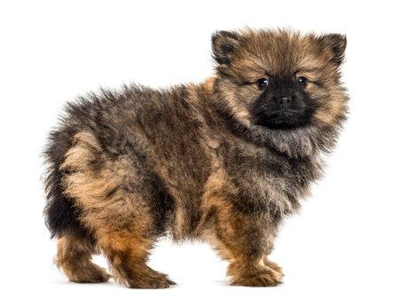 Duitse spitz puppy status, geïsoleerd op wit Stockfoto