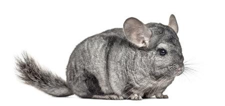 Old grey chinchilla, isolated on white