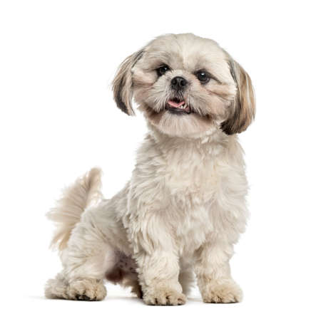 Shih tzu sitting and wagging tail, isolated on white Stock Photo