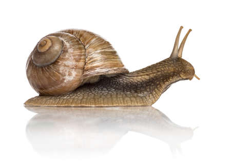 Crawling common snail, Burgundy snail or edible snail, isolated 版權商用圖片