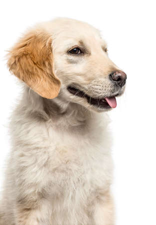 Close-up of a golden Retriever panting, isolated on white Stock fotó