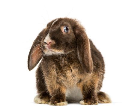 ミニ垂れウサギ立つ、白で隔離 写真素材