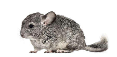 Grey chinchilla standing, isolated on white