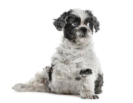 Shih tzu sitting pawing up, isolated on white Stock Photo
