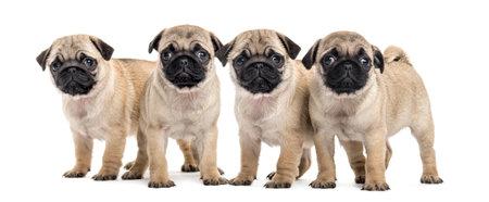 Quatre chiots pug, isolés sur blanc