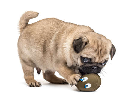 Pug puppy playing with a ball, isolated on white Stock fotó