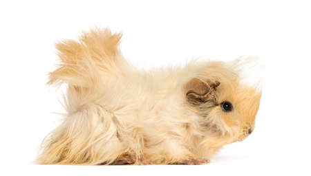Guinea pig with long hair, isolated on white Stock fotó