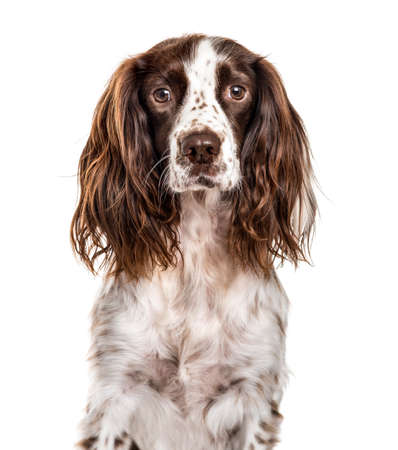 Close-up of english springer spaniel, isolated on white Reklamní fotografie