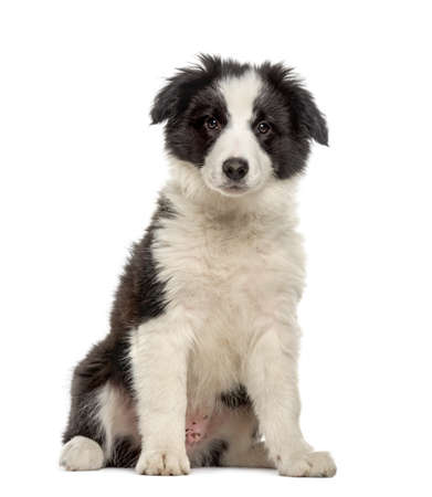 Border collie puppy sitting, isolated on white