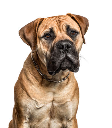 Close-up of a bullmastiff, isolated on white Stock fotó - 87954850