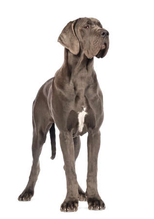 Great Dane, 10 months old, looking away in front of white background