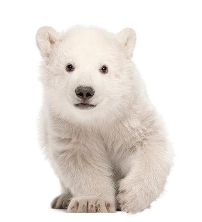 Filhote de urso polar, Ursus maritimus, 3 meses de idade, de pé contra um fundo branco Foto de archivo - 89681328